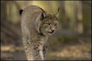 Zittau_Tierpark_Luchs.jpg